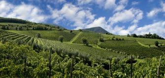 Italiaanse Wijngaarden Stock Foto