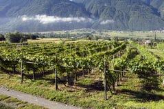 Italiaanse wijngaarden Stock Foto's