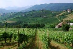 Italiaanse wijngaarden Royalty-vrije Stock Foto