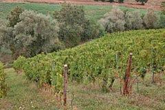 Italiaanse Wijngaarden Royalty-vrije Stock Fotografie