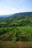Italiaanse wijngaarden in augustus Stock Foto's