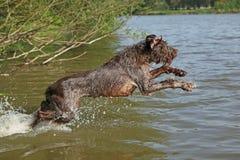 Italiaanse wire-haired het richten hond in de zomer stock foto