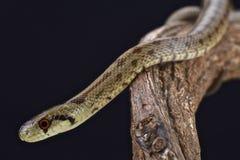 Italian Aesculapian Snake (Zamenis lineatus) Stock Image