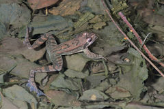 Italian agile frog (Rana latastei) in the breeding pond, Italy Royalty Free Stock Photo
