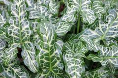 Italian arum leaves Royalty Free Stock Images