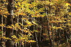 Italian autumn woods Royalty Free Stock Images