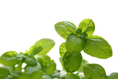 Italian Basil Stock Photo