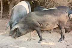 Italian breed of pigs Stock Photo