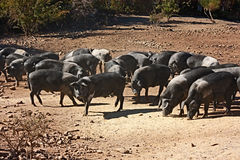 Italian breed of pigs. Livestock of cinta senese, typical italian breed of pigs stock image