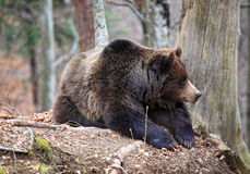 Italian brown bear Royalty Free Stock Photography