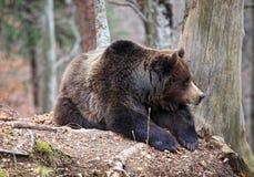 Italian brown bear