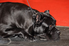 Italian cane corso dog Stock Images