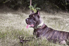 Italian cane corso Stock Images