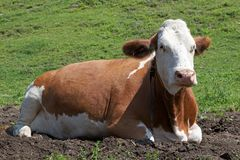 Italian cattle breed Stock Photography