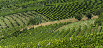 Italian country side. Rows of grapes growing in Italian vineyard Stock Photo