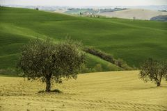 Italian countryside near Cingoli lake. Colorful meadows and some olive trees royalty free stock photography