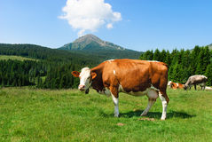 Italian Cow. Cow with the background of mountains and clouds in the sky Italy Royalty Free Stock Photography