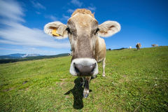 Italian cow grazing in an alpine meadow, mountains in the backgr Royalty Free Stock Photography