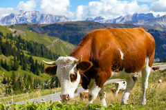 Italian  cows on a pasture Royalty Free Stock Photos