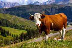 Italian  cows on a pasture Stock Images
