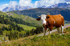 Italian  cows on a pasture Stock Image