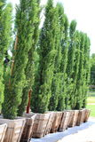 Italian Cyress. A close up view of many Italian Cypress tree being grown in a row Royalty Free Stock Photo