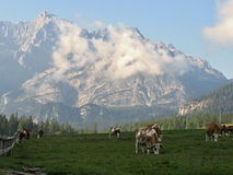 Italian Dolomites - cows under mountains Stock Photo