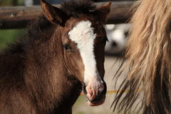 Italian Domestic horses. Mammals transport Royalty Free Stock Photos