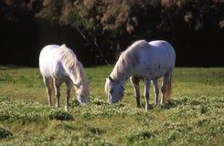 Italian Domestic horses Stock Image