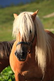 Italian Domestic horses. Mammals transport Royalty Free Stock Photography
