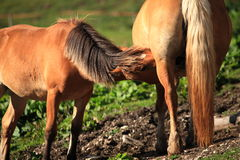 Italian Domestic horses. Mammals transport sky mountains green Royalty Free Stock Images