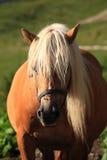 Italian Domestic horses. Mammals transport sky mountains green Royalty Free Stock Photography