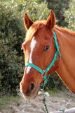 Italian Domestic horses. Mammals transport sky mountains green Stock Photos