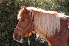 Italian Domestic horses. Mammals transport sky mountains green Stock Images