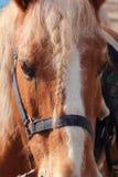 Italian Domestic horses. Mammals transport sky mountains green Royalty Free Stock Image