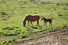 Italian Domestic horses. Mammals transport sky mountains green family Stock Images