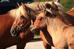 Italian Domestic horses. Mammals transport sky mountains green  family Stock Photos
