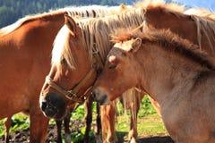Italian Domestic horses. Mammals transport sky mountains green family Royalty Free Stock Photo