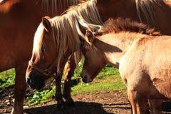 Italian Domestic horses. Mammals transport sky mountains green family Royalty Free Stock Photography