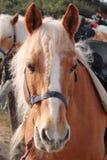 Italian Domestic horses. Mammals transport sky mountains green  family Stock Image