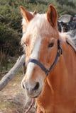Italian Domestic horses. Mammals transport sky mountains green   family Royalty Free Stock Photos