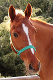 Italian Domestic horses. Mammals transport sky mountains green  family Stock Photography