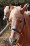 Italian Domestic horses Stock Photos