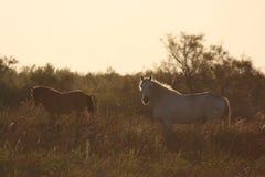 Italian Domestic horses. Mammals transport sun nature Royalty Free Stock Image