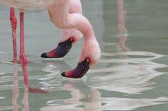 Italian flamingo Royalty Free Stock Photos