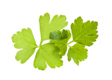Italian flat leaf parsley Royalty Free Stock Image