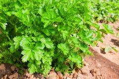 Italian flat leaf parsley Royalty Free Stock Photos