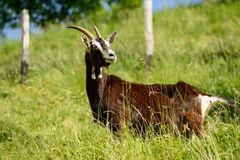 Italian Goats grazing freely Stock Images