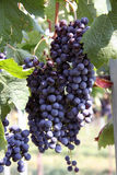 Italian grapes Royalty Free Stock Images
