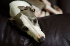 Italian Greyhound Stock Photography